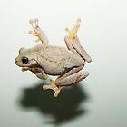 Peron's Tree Frog by Julie Shanahan