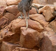 Curious rock wallaby in Nitmiluk Gorge, Katherine, Northern Territory by Lynda Harris