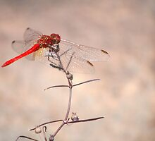 Red dragonfly - Edith Falls near Katherine, NT by Lynda Harris