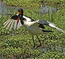 Saddle-billed Stork by Konstantinos Arvanitopoulos