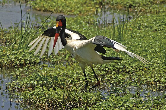 Saddle-billed Stork by Konstantinos Arvanitopoulos
