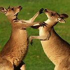 Kangaroo Fight Club by tinagphotos