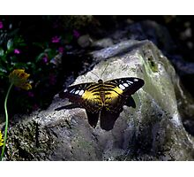 Hard Landing--Clipper Butterfly Photographic Print