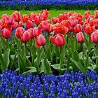 Tulip lines by Lindie