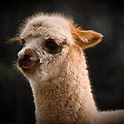 Blaze the Baby Alpaca - Tasmania by Liam Byrne
