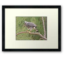 Grey Hawk Framed Print