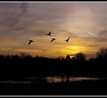 Canada Geese at sunset by Shaun Whiteman