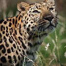 Leopard in the Light by Nigel Wheal