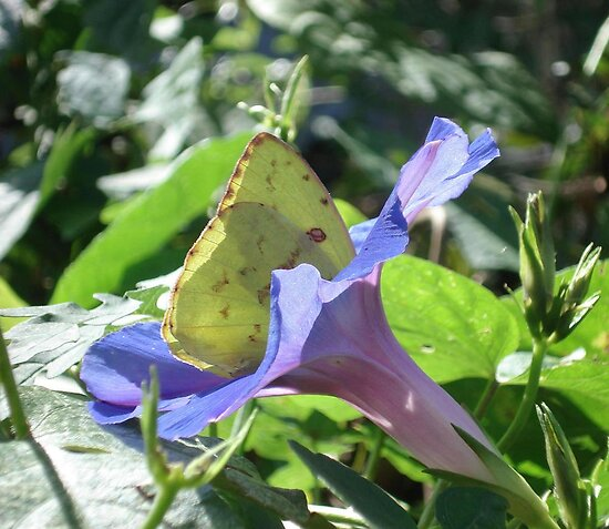 Sulphur Butterfly  in Morning Glory 2 by May Lattanzio