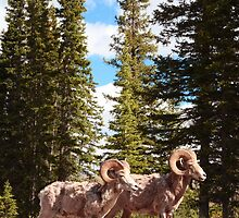 Bighorn brothers by zumi