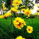 Yellow dasies by Sandy Sparks