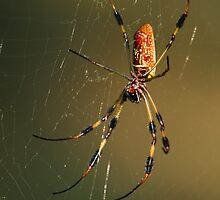 Orb-Weaver Spider by William C. Gladish