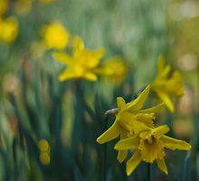 A host of golden daffodils by inkedsandra