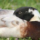 Ducks of Deloraine by Jodi Turner