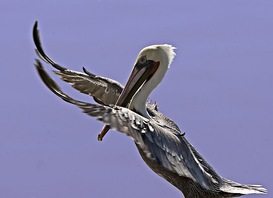 Pelican Tai Chi by Michael  Moss