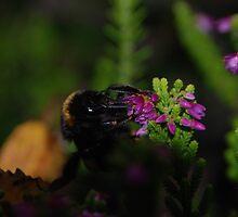 Bumble Bee. Bombus Terrestris by RCooper