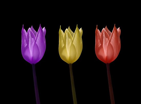 Three Tulips by Curtis  Sheppard