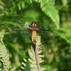 Broad-Bodied Chaser Dragonfly. Libellula depressa by RCooper