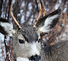 Mule Deer by Alyce Taylor