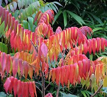 Staghorn Sumac Autumn Colors by Beth Johnston