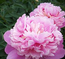 Peonies in Rememberance by AmandaFerryman