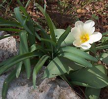 Spring White Daffodil by sandycarol