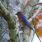 Eastern Blue Bird by Irvin Le Blanc