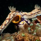 Tailgaiting nudibranchs, North Sulawesi, Indonesia by Erik Schlogl