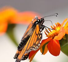 Butterfly Kisses by Olivia Moore