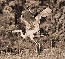 Heron In Sepia Photographic Print