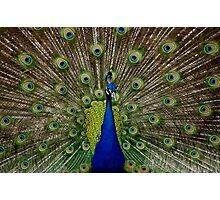 The Peacock Photographic Print