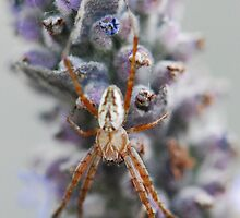Lavender Spider by MissyD