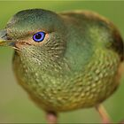 Bower Bird by Kym Howard