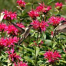 Hummingbirds by Dennis Cheeseman
