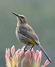 Sugarbird on Protea II by Macky