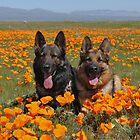 German shepherds at a poppy fields by gsddame