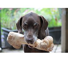German Shorthaired Pointer with giant bone Photographic Print