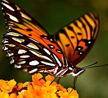 Multicolor Butterfly  by carlosramos