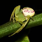 Diaea evanida by Jason Asher