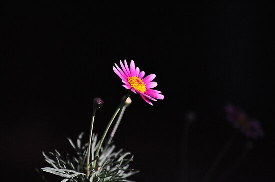 Pink Daisy by petejsmith