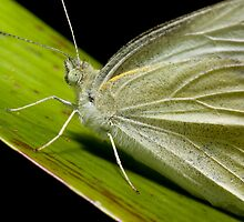 Green Butterfly macro by PurelyPrime
