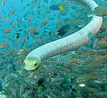 Olive Sea Snake on the SS Yongala by Rick Grundy