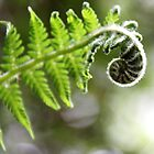 Unfurled Frond-Tree Fern leaf unfurling by Rhonda F.  Taylor