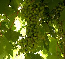 Grapes by Vanessa Nebenfuhr