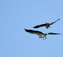 Sea Eagle is attacked by Peregrine Falcon by PurelyPrime