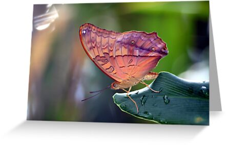 One Lovely Cruiser Butterfly by Kelly Robinson