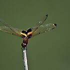 Golden Dragonfly by Janette Rodgers