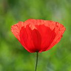 Lone Poppy by Peter Vines