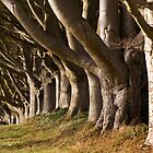 Kingston Lacy Beech Avenue, Dorset England by Peter Vines