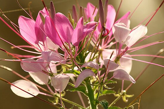 Spider Flower (Cleome) by JGetsinger